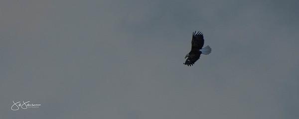 eagle-0989