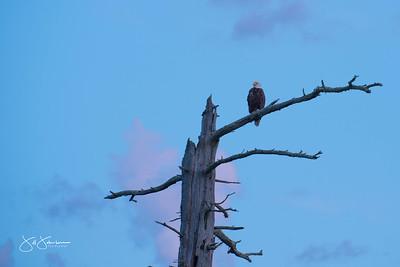 eagle-1081