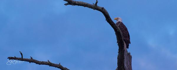 eagle-1103
