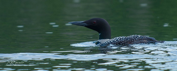 loons-0769