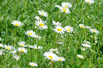 daisy-1687