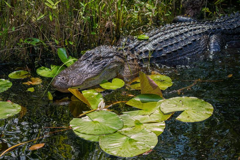 Alligator on waterlilies