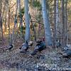 Wild turkeys crossed the road