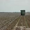 Harvesting the cotton