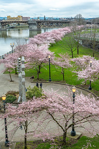 Blossoms along the Portland Waterfront
