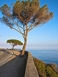 Parasol Pine trees on the road along the Mediterranean  coastal road between Les Issambres and Ste. Maxime, Côte d' Azur, France.