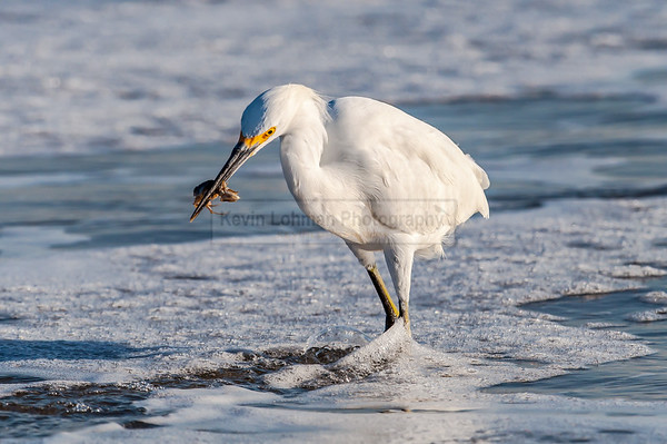 Snowy Egret with Sand Crab