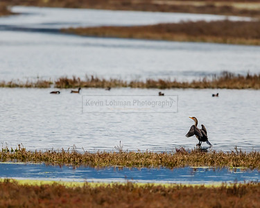 Double-crested Cormorant at Elkhorn Slough (wings extended)