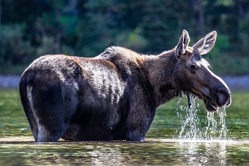 Female Moose enjoying the sun in Galcier National Park near Many Glacier