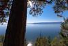 Big Yellow Pine overlooking Flathead Lake