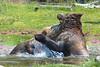 Grizzly Bears battling II