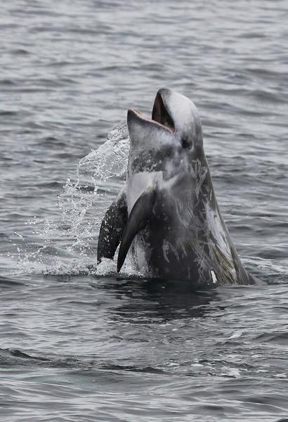 Risso's Dolphin - Monterey Bay, California