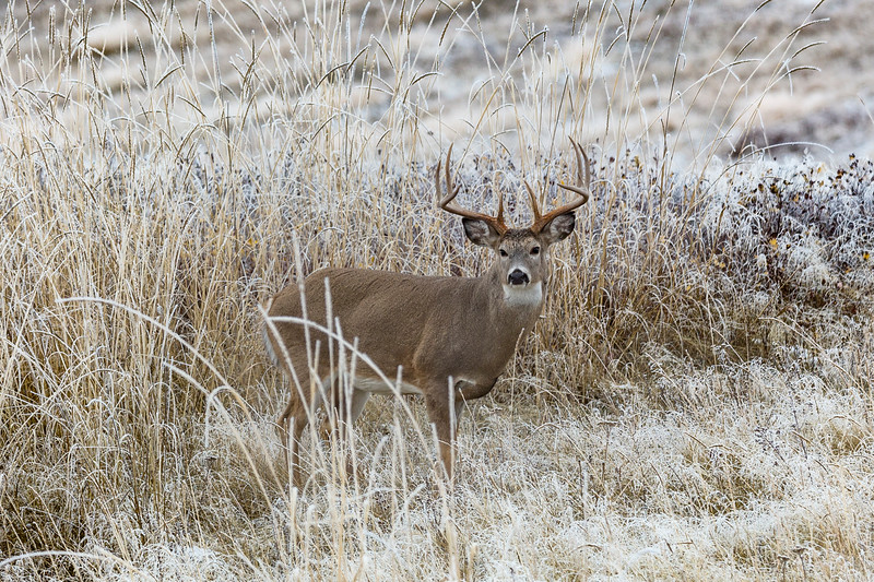 Majestic Winter Buck