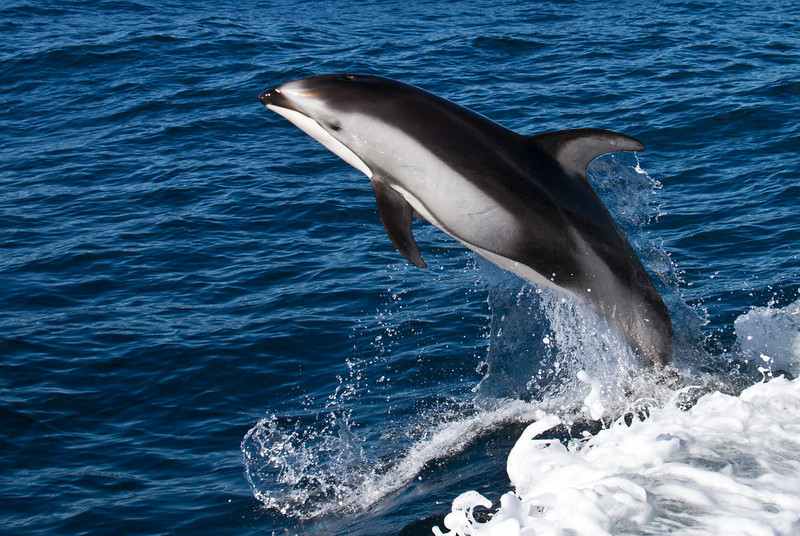 Pacific White-Sided Dolphin - Monterey Bay, California