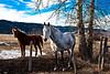 Horses near Arlee 1