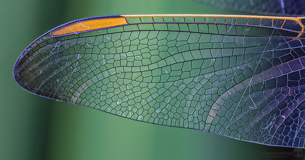Wing of sleeping dragonfly