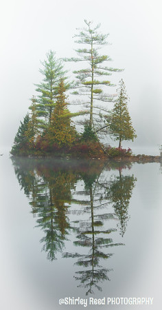 Pine Tree in Fog