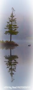 Single Pine in Fog Mirror