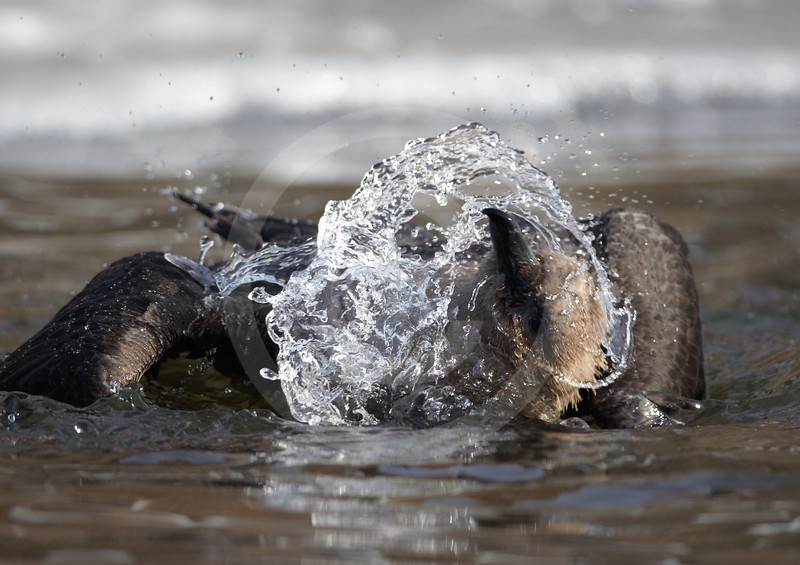(2146) South polar skua bathing, to get rid of petrel blood accumulated on its feathers