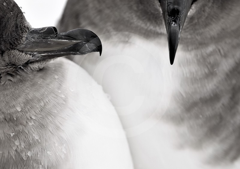 (2150) A pair of Antarctic petrel at the beginning of the breeding season