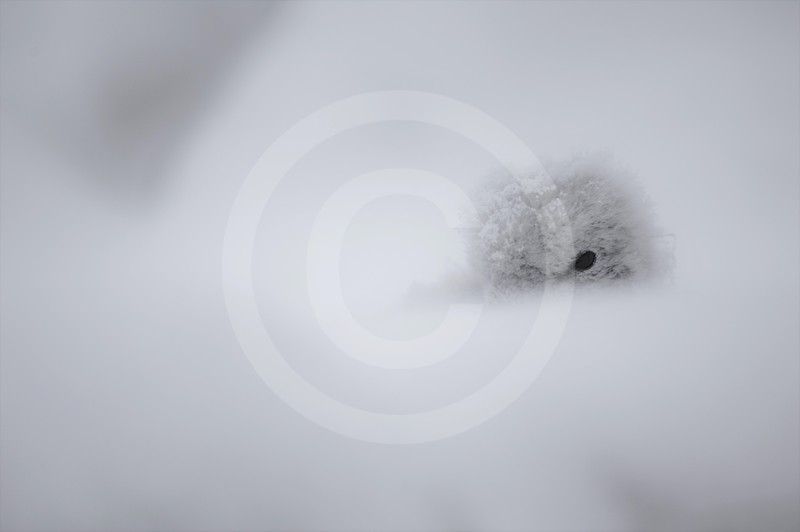(2148) Antarctic petrel chick on its nest, after a snow storm
