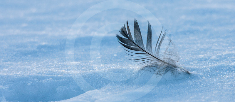 (1036) A feather in the snow