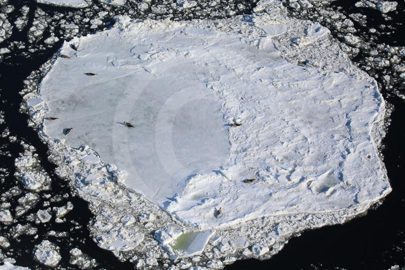 (1069) Phoques de Groenland