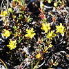 (2183) Arctic saxifrage in tundra landscape near Pangnirtung
