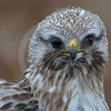 (1013) Adult Rough-Legged Buzzard