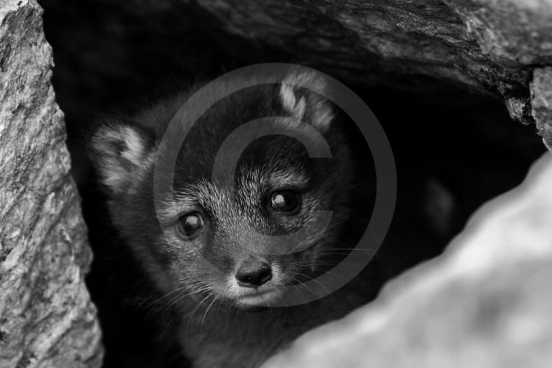 (1059) Young polar fox in Krykkjefjellet, Spitzberg