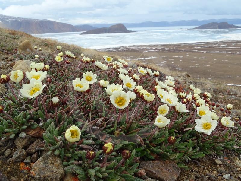 (2386) Mountain Avens (Malikkaat, Dryas integrifolia) flourishing near an Arctic fox den
