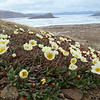 (2386) Mountain Avens (Malikkaat, Dryas integrifolia) flourishing near an Arctic fox den
