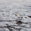 (137) Polar bear on ice