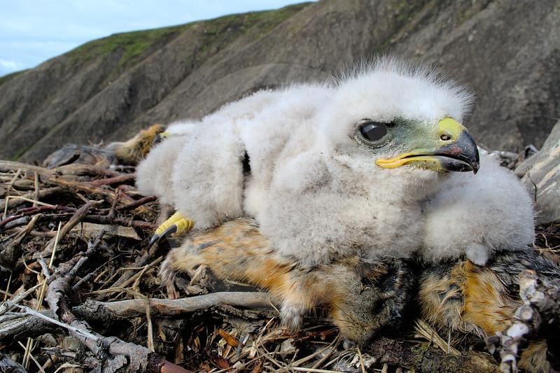 (2207) Revisite d'un nid de buse pattue (Buteo lagopus)