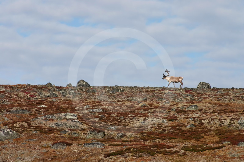 (76) Caribou in the Arctic
