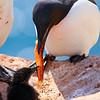 (2334) Murre feeding chick