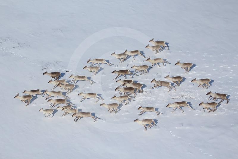 (1068) Les rennes sauvages