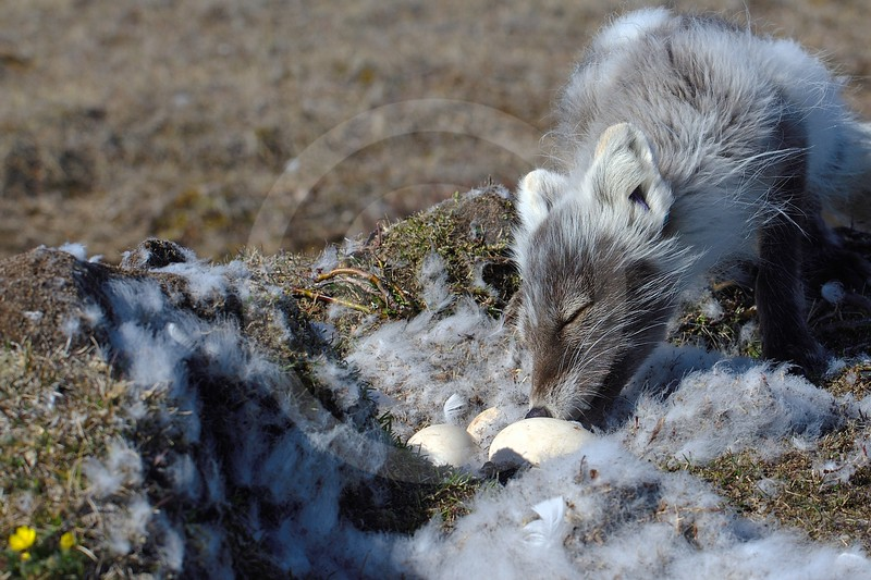 (2123) Prédation d'un nid de Grande Oies des neiges par un renard arctique