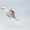 (348) Arctic Tern (Sterna paradisaea) in full flight