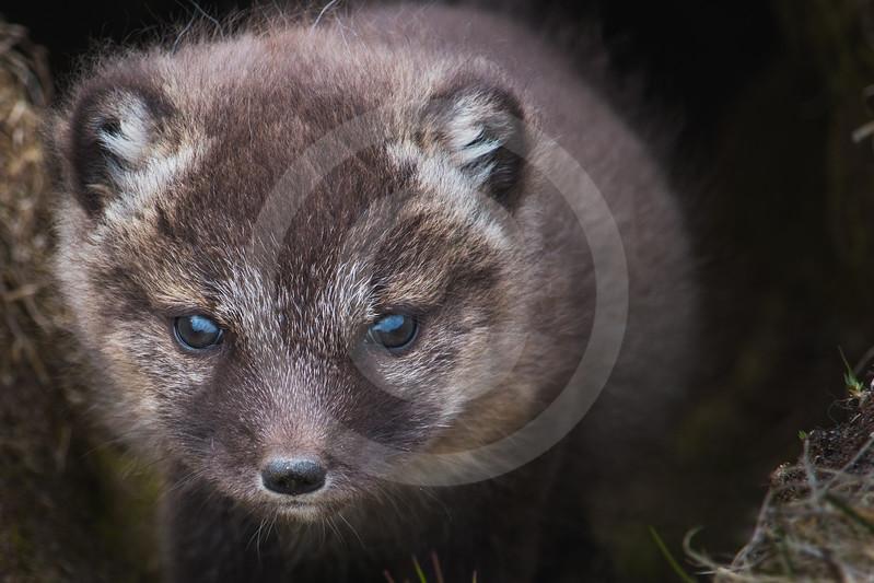 (1050) Portrait d'un jeune renard arctique