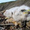 (1041) Revisite d'un nid de buse pattue (Buteo lagopus)