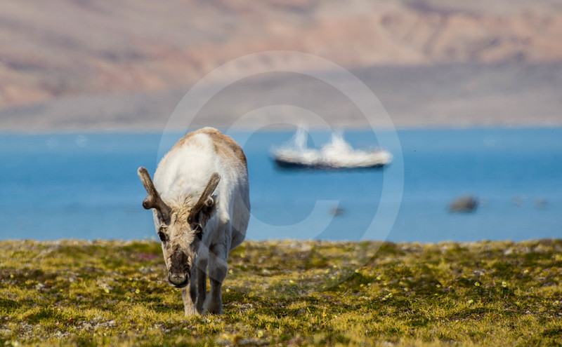 (2346)The Svalbard reindeer in the shimmering air
