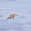 (2185) Red Fox in Wapusk National Park on a very unpleasant field day