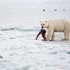 (2266) Polar Bear (Bellsund)