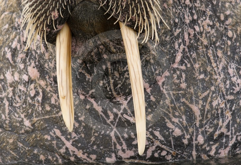 (2153) Close up of a walrus in Svalbard
