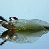 (2154) Black guillemot landing on a pond on Mitivik Island