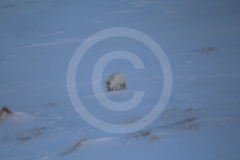 (1075) Le renard polaire. Taimir, baie Meduza