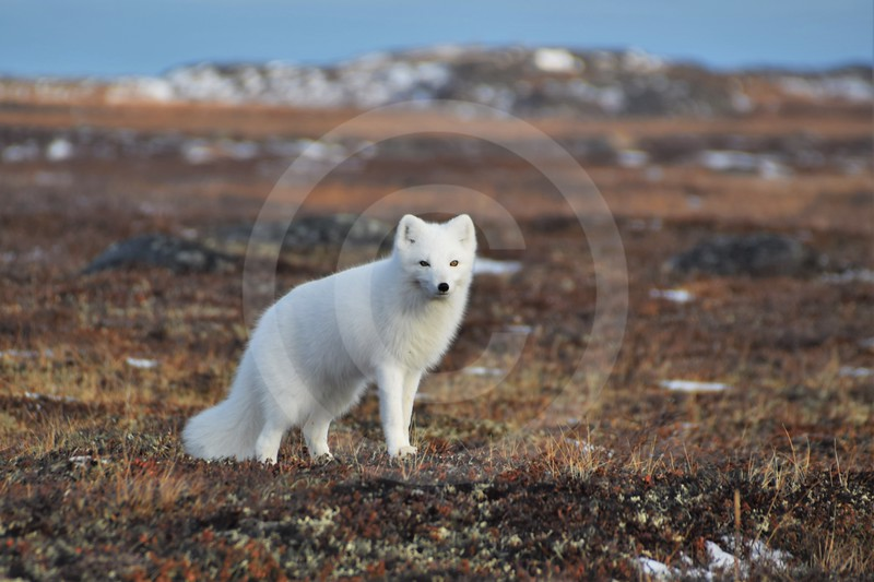 (2186) Encounter with an Arctic fox during a caribou hunt