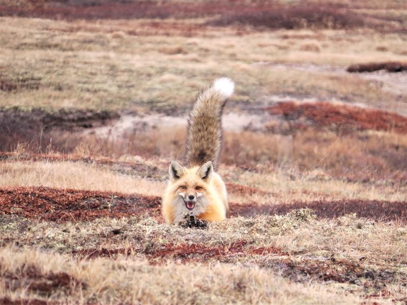 (2082) Red Fox