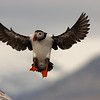 (2156) Atlantic puffin landing in its colony on Goose Island